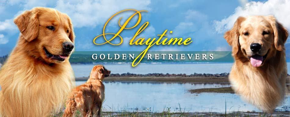 Playtime Golden Retrievers
